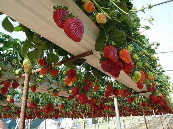 Tuyển 15 nữ đơn hàng nông nghiệp - trồng dâu tây tại Tochigi Nhât Bản