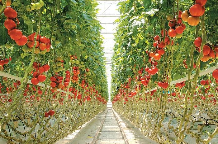 Tuyển nam nữ đơn hàng trồng thu hoạch cá chua XKLĐ Nhật Bản