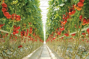 Tuyển nam nữ đơn hàng trồng thu hoạch cà chua XKLĐ Nhật Bản