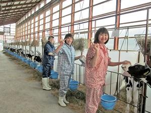 Đơn hàng chăn nuôi bò sữa xuất khẩu lao động Nhật Bản