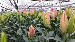 Đơn hàng xuất khẩu lao động trồng hoa ly tại Nhật Bản