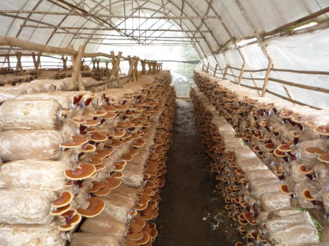 Đơn hàng thu hoạch đóng gói nấm cần tuyển 10 Nam/ Nữ đi làm việc tại Nhật Bản