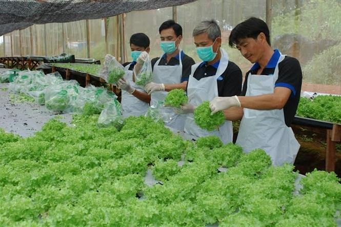 Đơn hàng trồng rau hot nhất dành cho Nam đi làm việc tại Nhật Bản