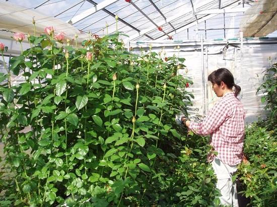 Tuyển gấp 20 nam trồng hoa xuất khẩu lao động Nhật Bản