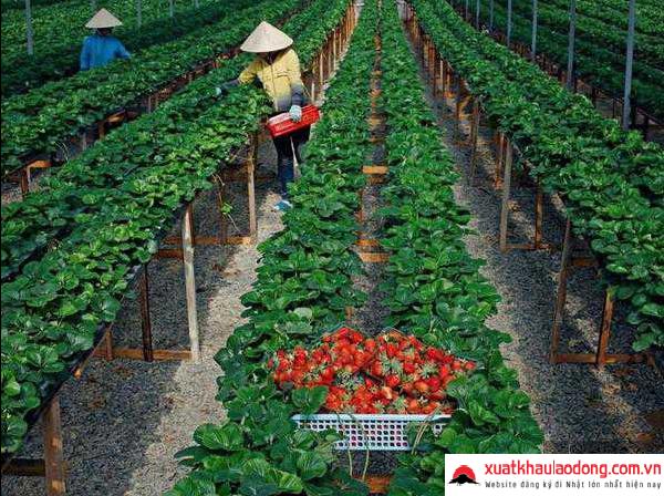 Những đơn hàng nông nghiệp mới nhất đi xuất khẩu lao động tại Nhật Bản