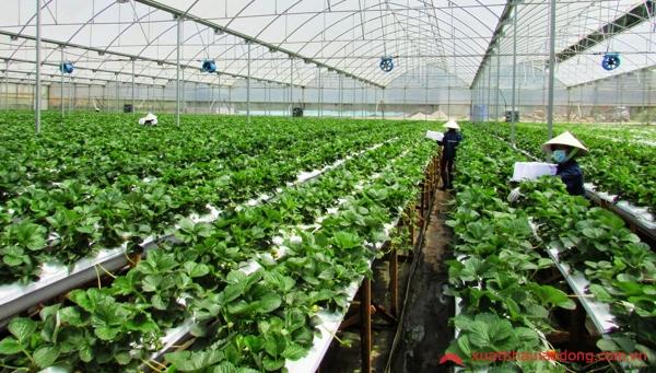 Tuyển 10 Nữ đi xuất khẩu lao động tại Tochigi Nhật Bản trồng dâu tây