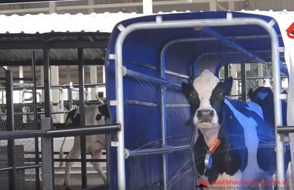 Khám phá công nghệ chăn nuôi bò sữa Nhật Bản