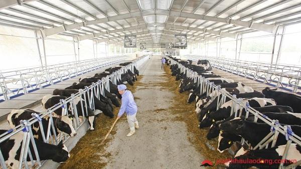trang trại chăn nuôi bò sữa nhật bản