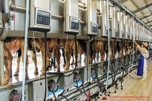 đơn hàng chan nuoi bò sữa XKLĐ Nhật Bản