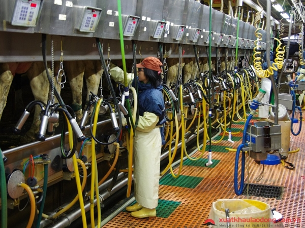 đơn hàng vắt sữa bò