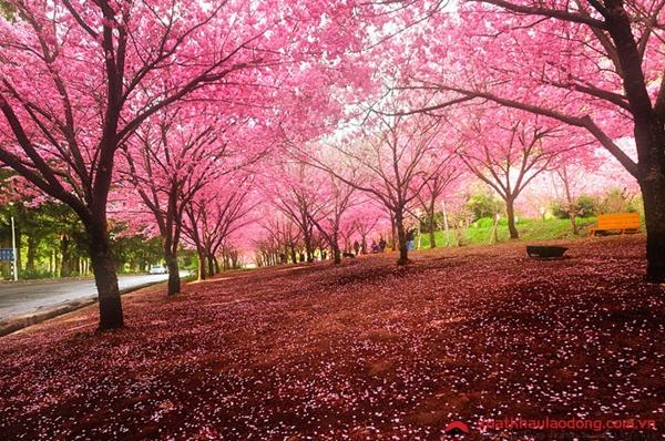 hoa anh đào nở đẹp nhất vào mùa nào