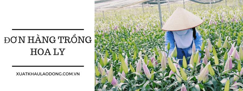 Cơ hội cho 20 Nam/Nữ trồng hoa ly tại Aichi, Nhật Bản đầu năm 2018