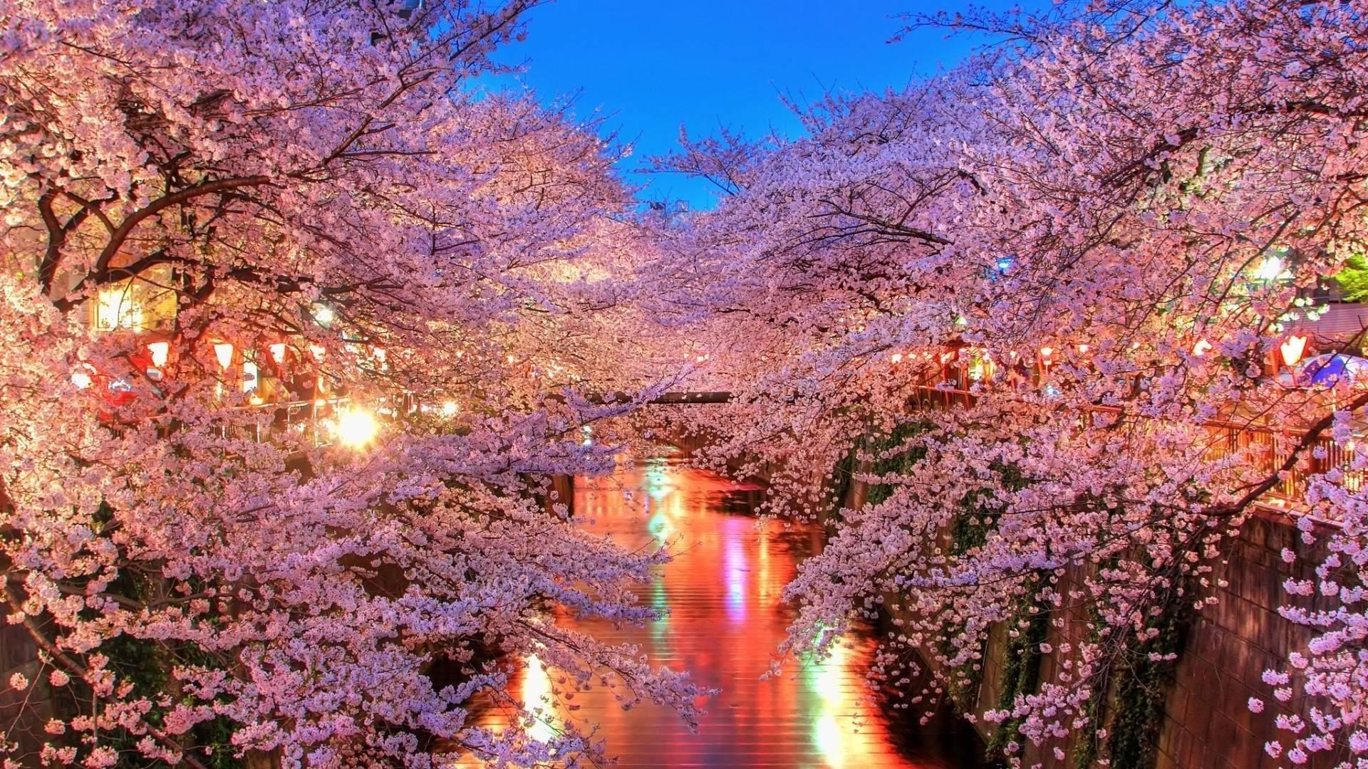 Hoa anh đào nở rộ khi vào mùa lễ hội Hanami