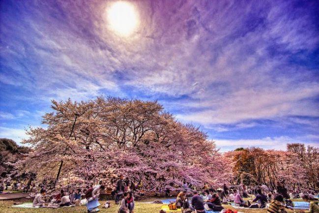 Du khách tham dự lễ hội hoa anh đào Hanami