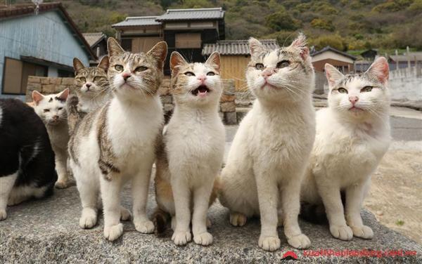 đảo mèo Tashirojima Nhật Bản