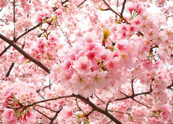 Hoa anh đào - Quốc hoa của đất nước Nhật Bản