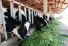8 Nữ chăn nuôi bò sữa tại Hokkaido tháng 7/2014