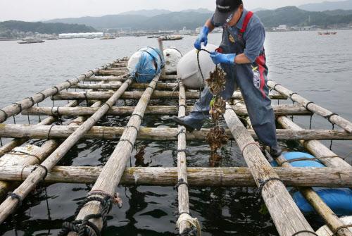 9 Nam nuôi sò tại Hokkaido tháng 1/2015