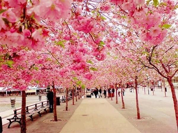 Khung cảnh lãng mạn tràn ngập sắc hồng hoa anh đào