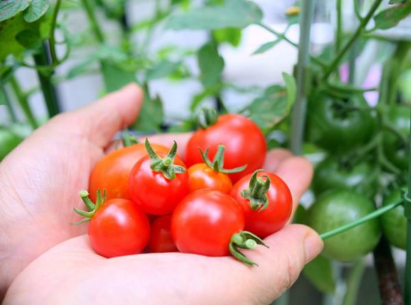 Ngành nông nghiệp trồng cà chua tại Nhật Bản mang lại sản lượng lớn cho người lao động tại Nhật Bản