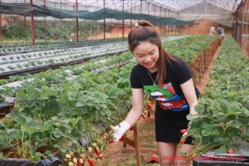 Đơn hàng trồng dâu tây tại nhật bản
