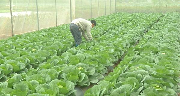trồng rau xuất khẩu lao động Nhật Bản