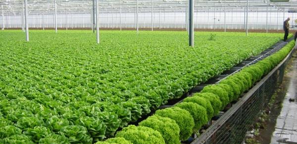trồng rau trong nhà kính xuất khẩu lao động Nhật Bản