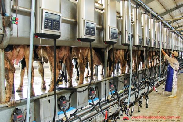 Công nghệ chăn nuôi bò sữa Nhật Bản