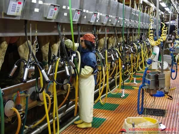 Tuyển gấp 15 nữ chăn nuôi bò sữa tại Aichi, Nhật Bản lương 30 triệu/tháng
