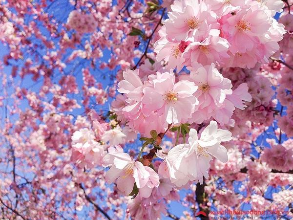 Hoa anh đào Nhật Bản nở vào mùa nào? Lịch ngắm hoa anh đào nở năm 2021