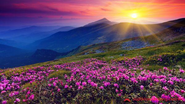 Rực rỡ sắc màu lễ hội hoa đỗ quyên tại Nhật Bản