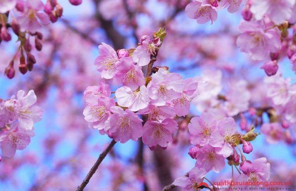 các loài hoa nhật bản - hoa anh đào