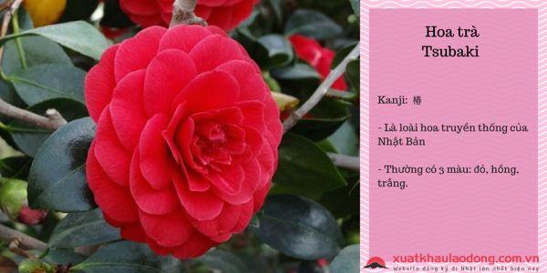các loài hoa nhật bản - hoa trà