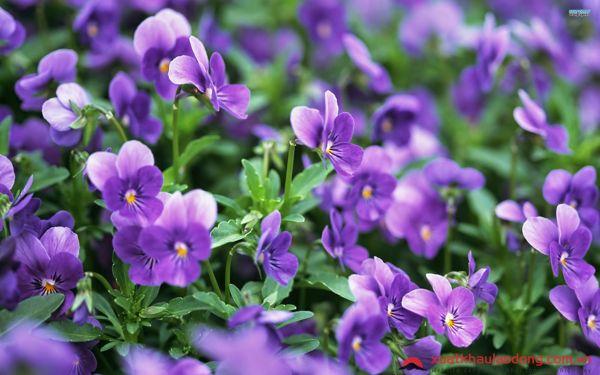 các loài hoa nhật bản - hoa violet