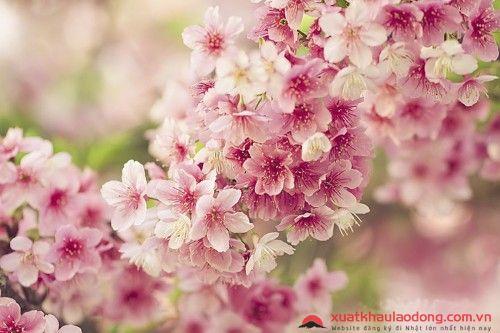 Khám phá 100 loài hoa Nhật Bản và ý nghĩa đặc biệt