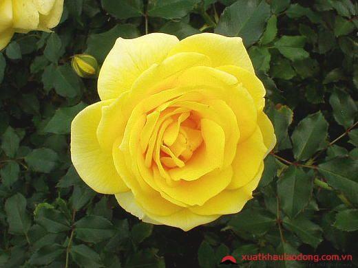 các loài hoa nhật bản - hoa hồng vàng