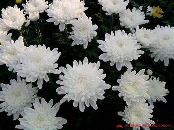 các loài hoa nhật bản - hoa cúc trắng