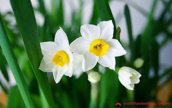 các loài hoa nhật bản - hoa thủy tiên