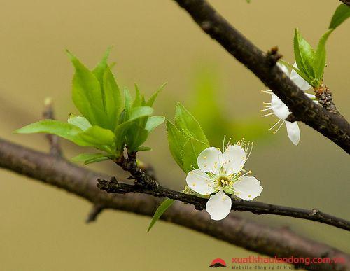 các loài hoa nhật bản - hoa mơ