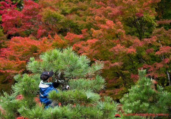 đơn hàng cắt tỉa cây cảnh tại saitama