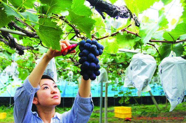 đơn hàng nông nghiệp trồng nho tại nhật bản
