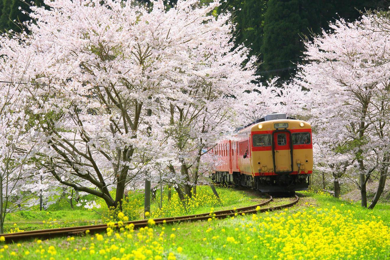 Lịch ngắm hoa anh đào CẬP NHẬT MỚI NHẤT năm 2019