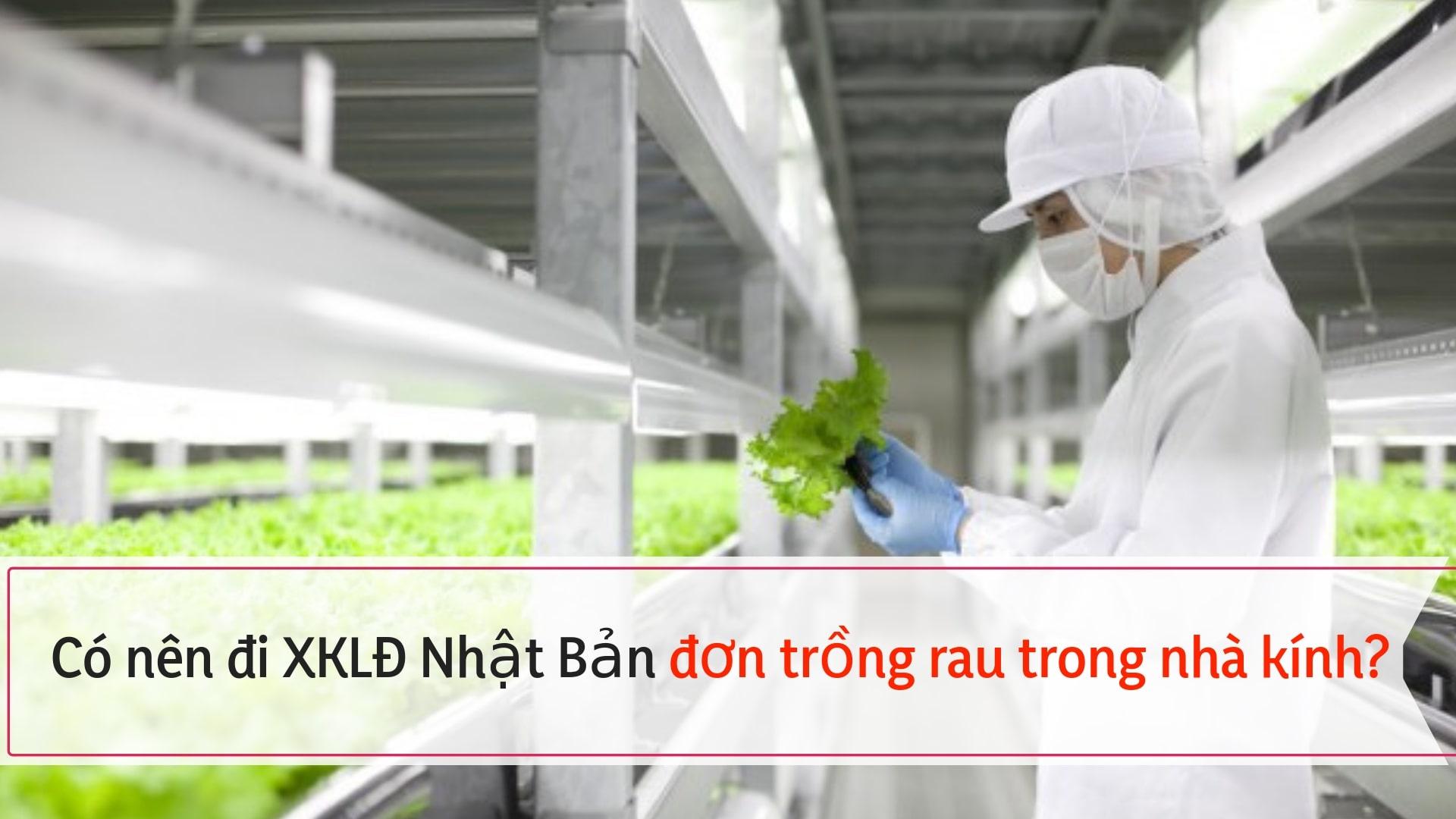 Có nên đi XKLĐ Nhật đơn hàng trồng rau nhà kính không? Ưu điểm của việc trồng rau nhà kính?