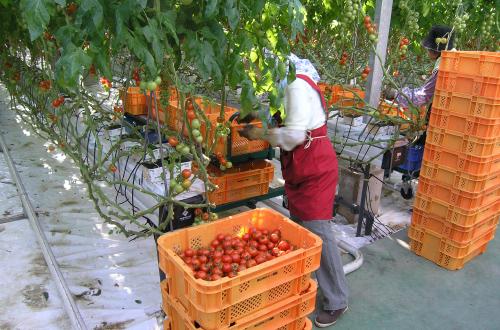 TUYỂN GẤP 15 nữ trồng cà chua nhà kính tại Kumamoto, LƯƠNG HẤP DẪN