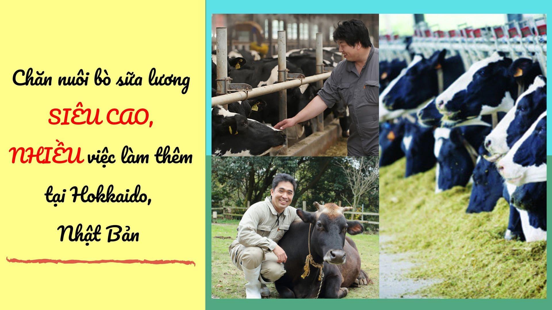 Đơn hàng chăn nuôi bò sữa tại Hokkaido sữa LƯƠNG SIÊU CAO, tuyển gấp 05/2019