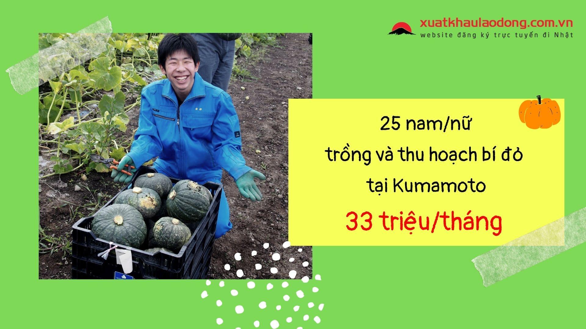 Đơn hàng 25 nam/nữ thu hoạch bí đỏ PHÍ THẤP tại Kumamoto, Nhật Bản