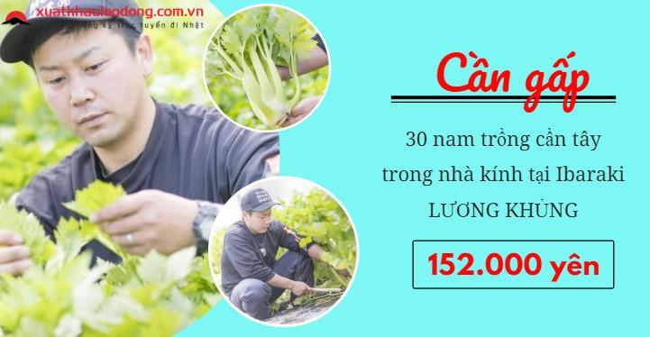 Cần gấp 30 nam trồng cần tây nhà kính LƯƠNG SIÊU CAO tại Ibaraki, Nhật Bản