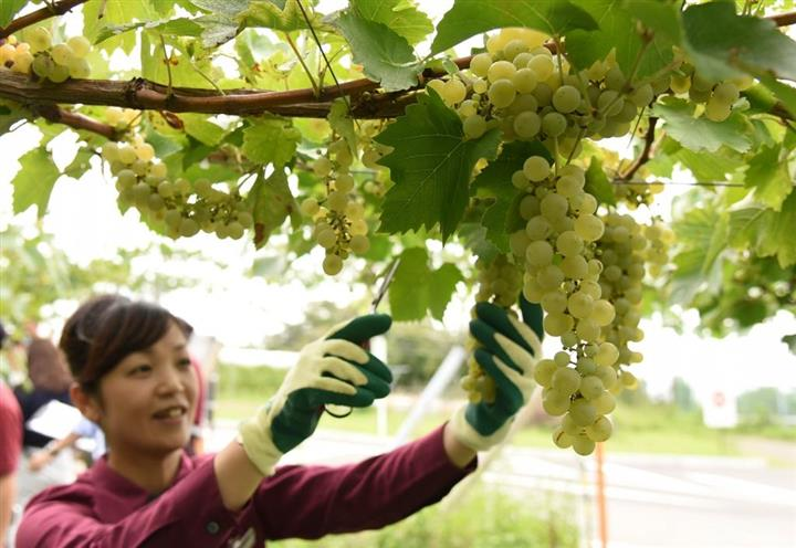 Đơn hàng trồng và thu hoạch nho tại Aichi