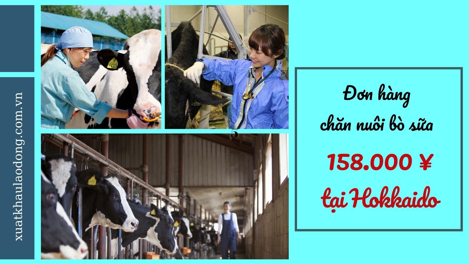 Đơn hàng chăn nuôi bò sữa tại Hokkaido LƯƠNG SIÊU CAO, tuyển gấp 11/2019