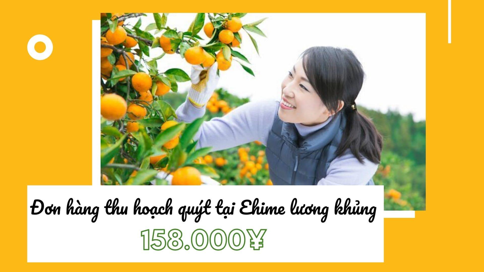 Đơn hàng thu hoạch quýt tại Ehime lương khủng 158.000 yên/tháng đang tuyển gấp